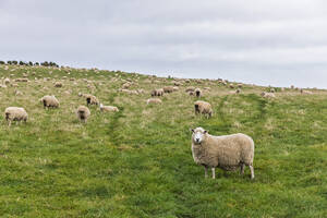 New Zealand, Oceania, South Island, Southland, Flock of sheep in pasture at Slope Point - FOF11739