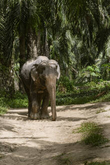Elephant in sanctuary, Krabi, Thailand - CHPF00612