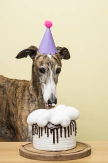 Dog with his birthday cake celebrating his anniversary - SKCF00596