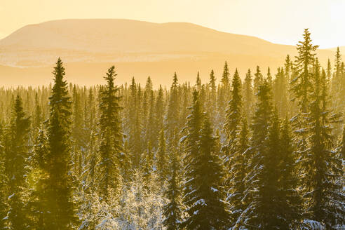 Forest in winter at sunset - JOHF07802