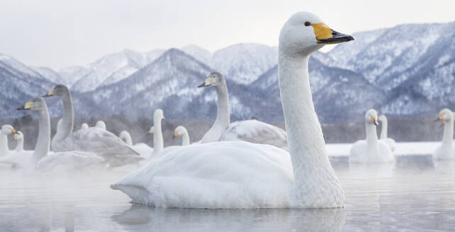 Tundra swans at winter - JOHF07874