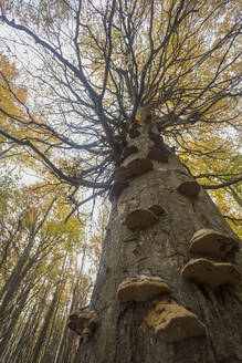 Germany, Ruegen, Low angle view of Autumn hornbeam tree (Carpinus betulus) with bracket fungi in forest - ZCF00926