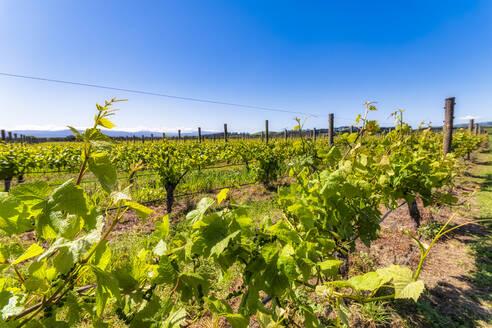 Vineyard, Martinborough Region, North Island, New Zealand - SMAF01847