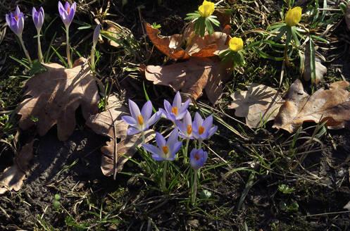 Germany, Saxony, Purple crocuses (Crocus sativus) - JTF01467