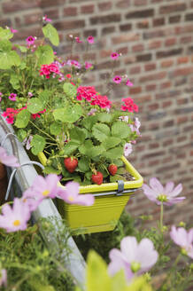 Strawberries and various flowers growing in window box during summer - GWF06448