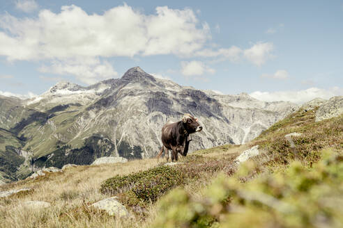 Cow on an Alpine meadow, Graubuenden, Switzerland - HBIF00030