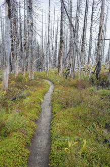 View of the Pacific Crest Trail through wildfire damaged subalpine forest, Mt. Adams Wilderness, Gifford Pinchot National Forest, Washington - MINF13902