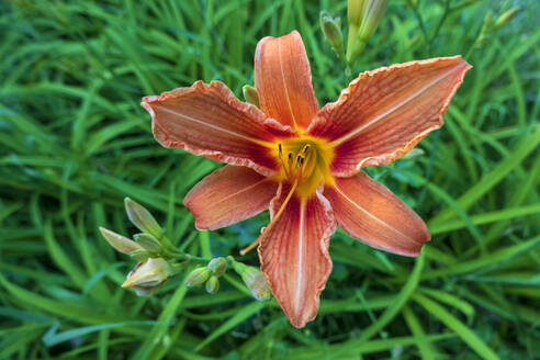 Germany, Close-up of fire lily (Lilium bulbiferum) blooming outdoors - NDF01025