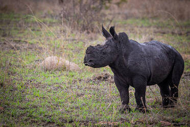 A white rhino calf, Ceratotherium simum, stands on green grass, covered in dark mud, looking out of frame - MINF14045