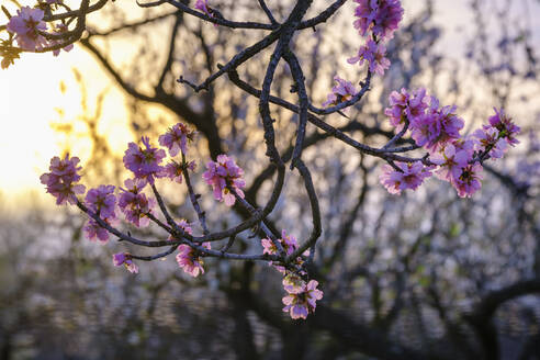 Spain, Branches of blossoming almond tree (Prunus dulcis) at sunrise - SIEF09598