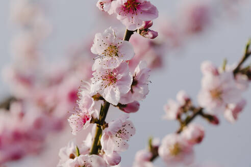 Spain, Pink blossoming branches of almond tree (Prunus dulcis) - AMAF00001