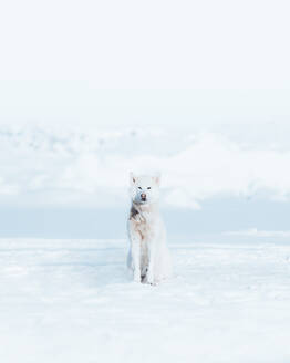 Portrait Of Dog Relaxing On Snow Covered Field During Winter - EYF00601