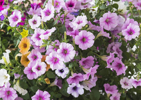 Close-up of pink blooming petunia flowers - GWF06562