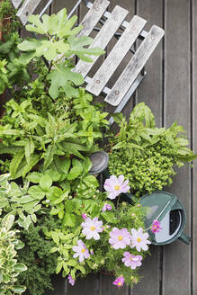 Various culinary herbs growing on balcony - GWF06580