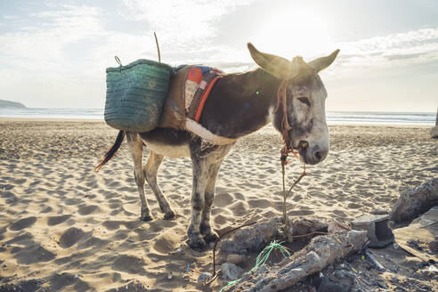 Donkey with baskets on the beach, Tafedna, Morocco - HBIF00085