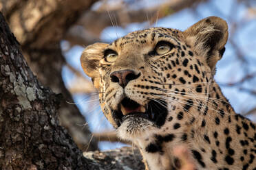 The head of a leopard, Panthera pardus, in a tree, mouth open, looking out of frame - MINF14391