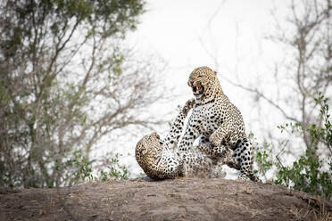 A mating pair of leopards, Panthera padrus, snarl at each other - MINF14394