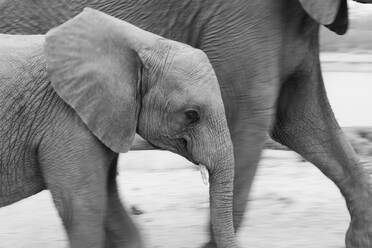 A young elephant, Loxodonta africana, walks side by side with another elephant, black and white image - MINF14397