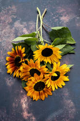 High angle close up of a bunch of freshly picked sunflowers on grey background. - MINF14427