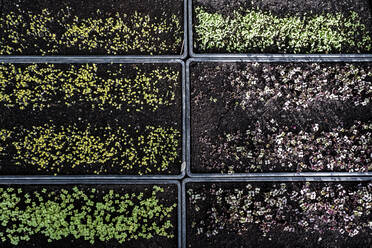 High angle close up of crates with a selection of freshly planted seedlings. - MINF14439