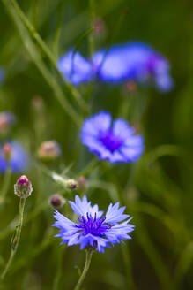 Germany, Close-up of cornflowers (Centaurea cyanus) blooming outdoors - JTF01495