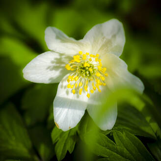 Germany, Wood anemone (Anemone nemorosa) in bloom - MHF00530