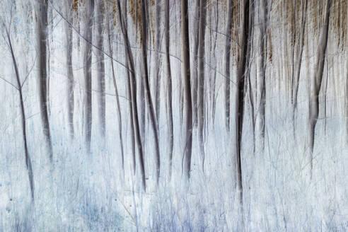 Aspen trees in a grove in winter - MINF14560