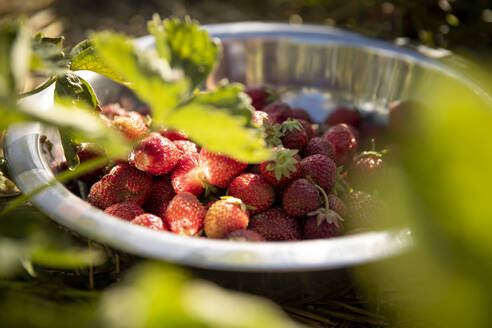Strawberries in container - MASF17699