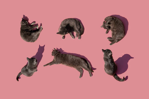 Studio shot of Russian Blue cats against pink background - GEMF03540