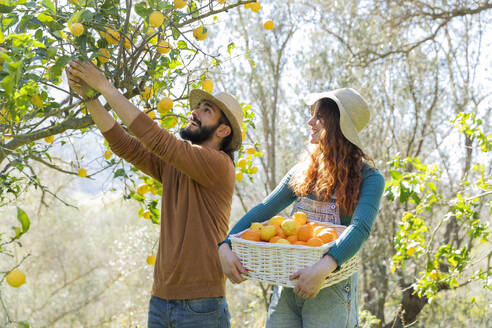 Couple picking organic lemons from a tree in the countryside - VSMF00041