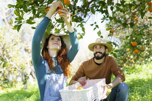 Couple picking organic oranges from a tree in the countryside - VSMF00122