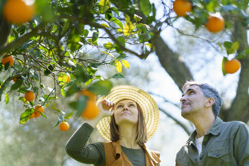 Couple picking organic oranges from a tree - VSMF00128