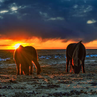 Iceland, Icelandic horses grazing at dramatic sunset in summer - TOVF00142