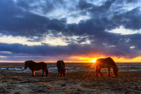 Iceland, Icelandic horses grazing at dramatic sunset in summer - TOVF00154
