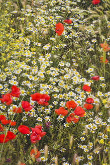 Flower meadow with poppies - FVSF00097