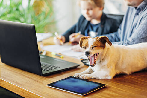 Yawning dog lying on desk with father and son in background - MJF02506