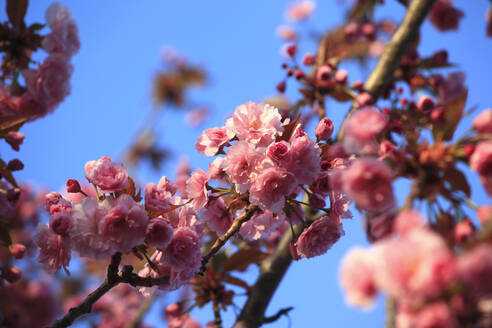 Germany, Low angle view of pink cherry blossoms - JTF01535