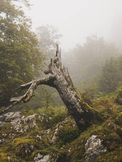 Spain, Cantabria, Tree stump in foggy mountains - FVSF00158