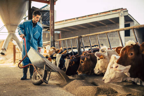 Young farmer wearing blue overall while feeding the calves on his farm - ACPF00696