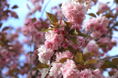 Germany, Low angle view of cherry blossom branches in spring - JTF01554