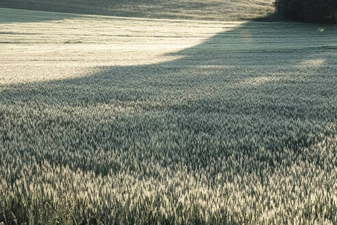 Germany, Bavaria, Berg, Rye (Secale cereale) field at dawn - WFF00336