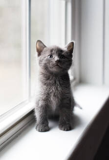 Close up of adorable gray kitten sitting on a window ledge looking up. - CAVF79303