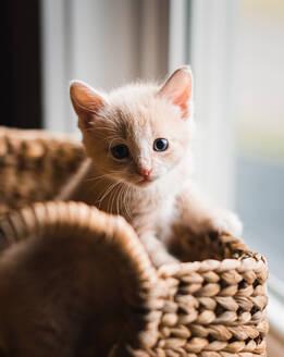 Cute beige kitten climbing out of a wicker basket. - CAVF79309