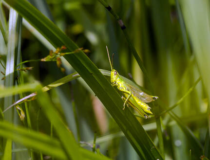 Germany, Close-up ofmeadow grasshopper(Ancistrocerus parietum) perching on blade of grass - ZCF00975
