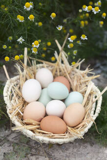 Chicken eggs of various colors. - CAVF80168