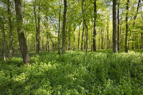 Germany, North Rhine-Westphalia, Garlic mustard (Alliaria petiolata) growing in green glade - WIF04260