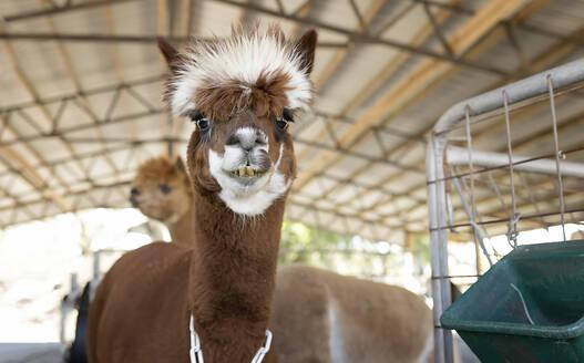 Dark brown Suri alpaca with white tuft of hair looking into camera - CAVF80674