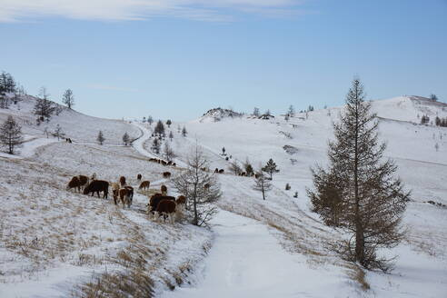 Cows in the Tazheran steppe along the western shores of Lake Baikal in winter, Siberia, Russia, Eurasia - RHPLF14848