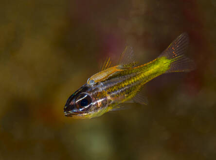 Indonesia, Underwater portrait of small yellow fish - TOVF00182