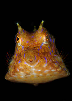 Indonesia, Underwater portrait of thornback cowfish (Lactoria fornasini) - TOVF00194